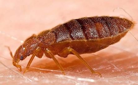 Bedbug Stings
