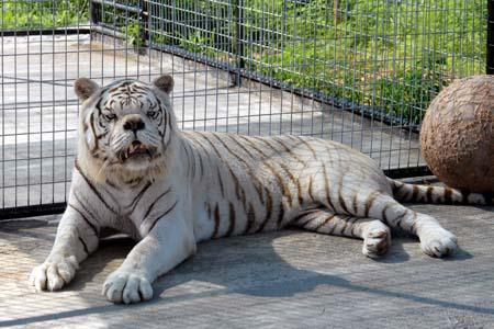 Тигровая кенни