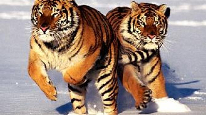 Самые известные тигры