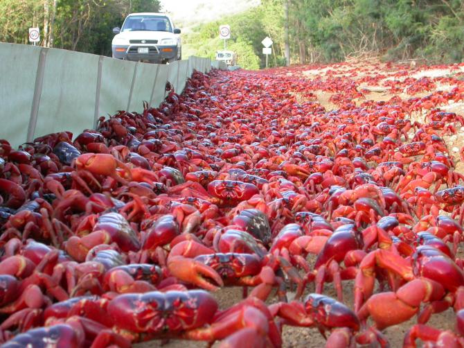 Migration of crabs (Christmas Island, Australia)