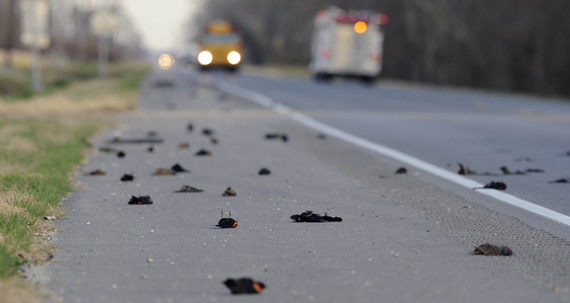 Millions of dead blackbirds (United States)