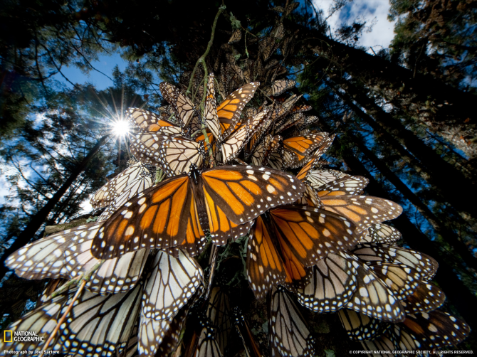 Monarch butterfly migration (USA and Mexico)