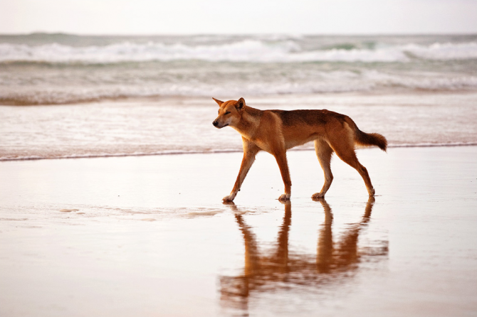 The island of dogs (Australia)