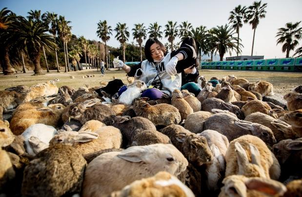 The island of rabbits (Japan)