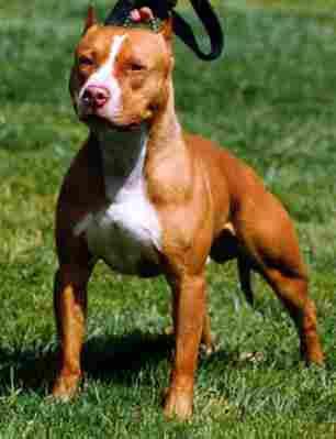Pitt Bull Terrier