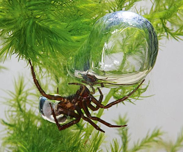 Aquatic Argyroneta