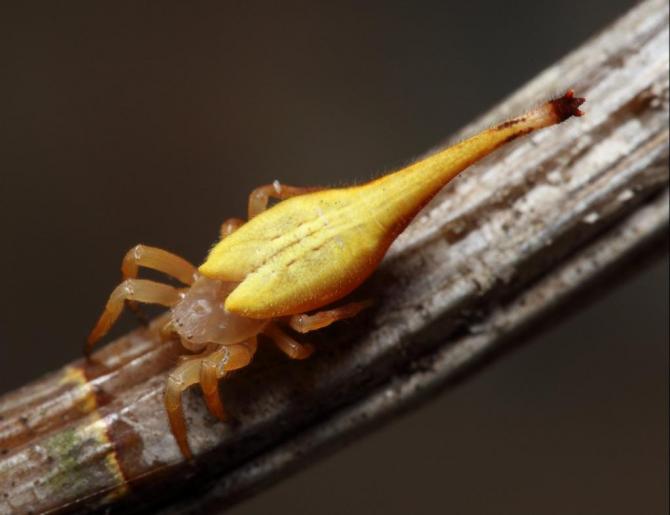 Arachnura higginsi