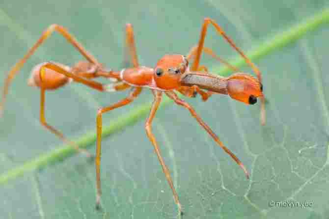 Myrmarachne plataleoides