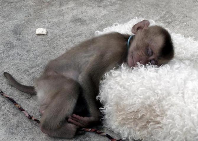 哪只猴子会抵制那个柔软的枕头!
