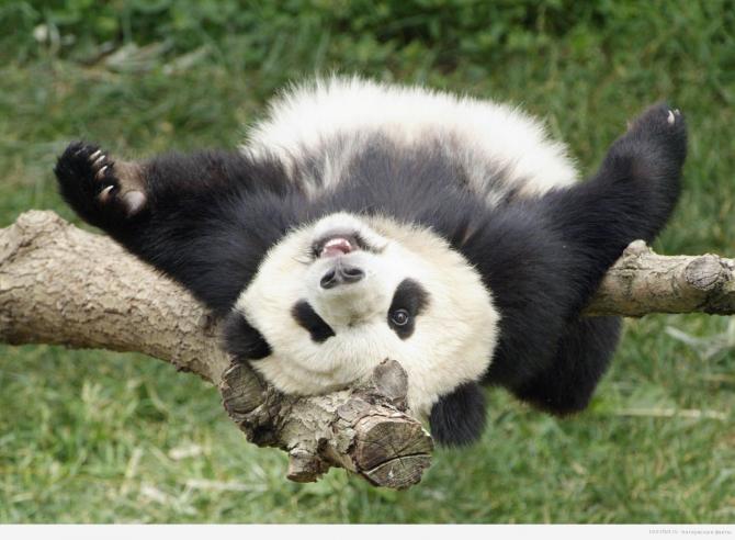 Chama-se 'fazer o urso' ... panda