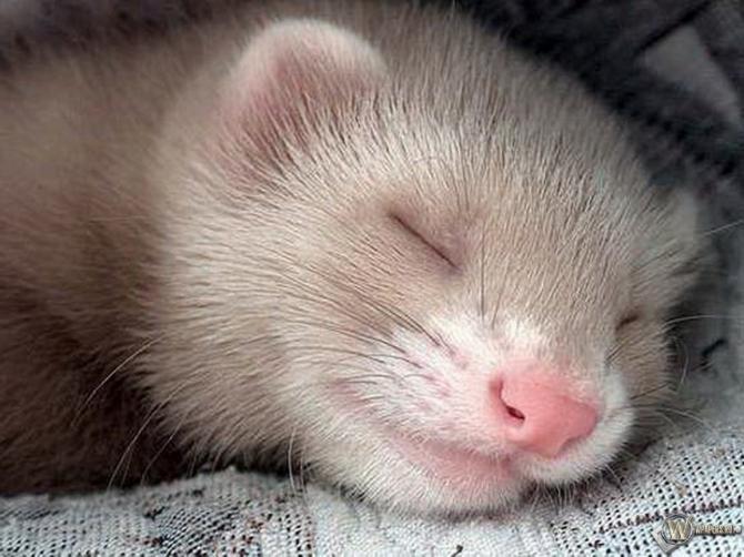 Com o que nosso furão está sonhando, com esse sorriso?