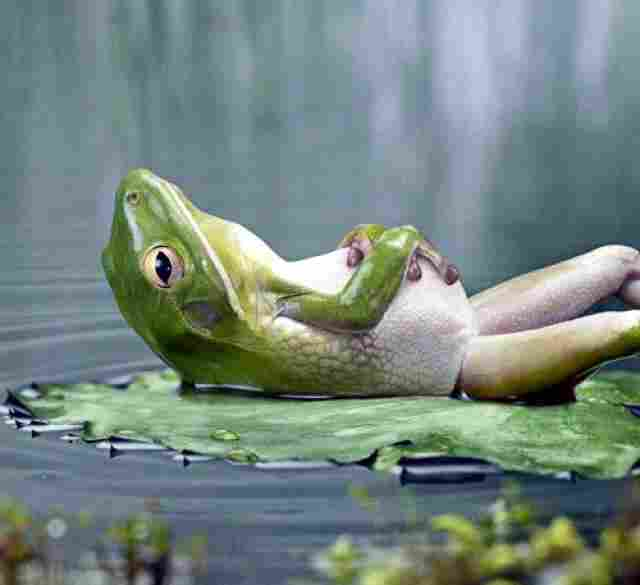 Floating in a waterlily, any frog is happy