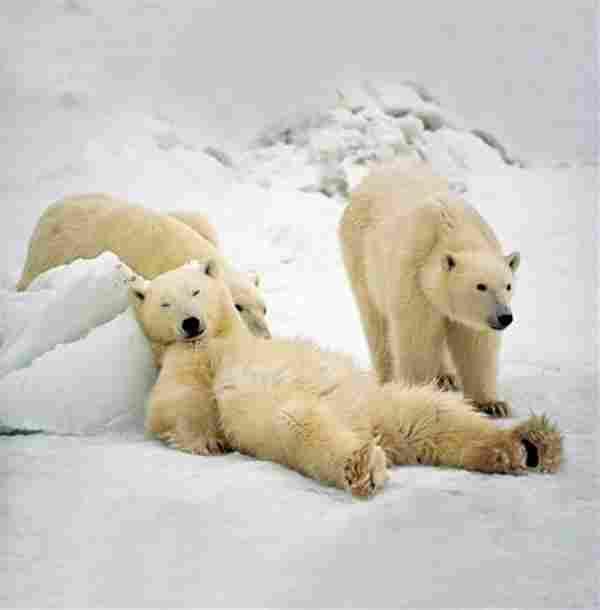 Một con gấu rất yên tĩnh
