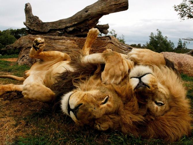 Naturligtvis uppfattar dessa lejon inga faror