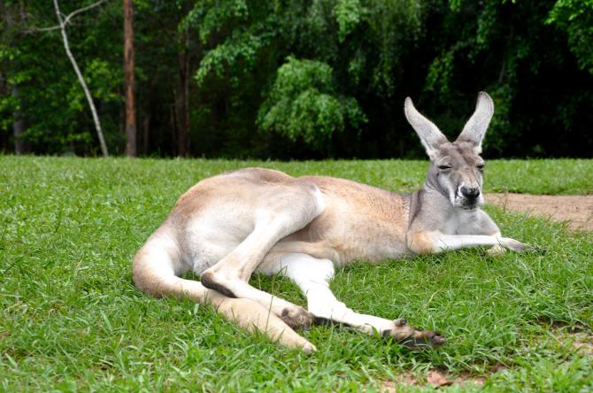 O canguru, quieto