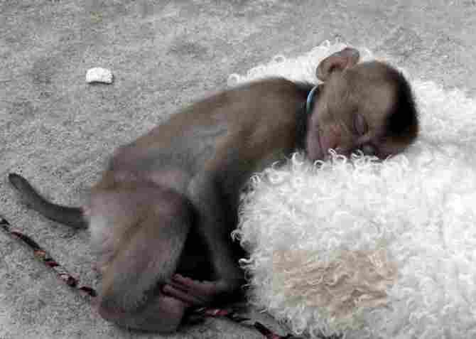 ¡Qué monito se resistiría a esa almohada tan suave!