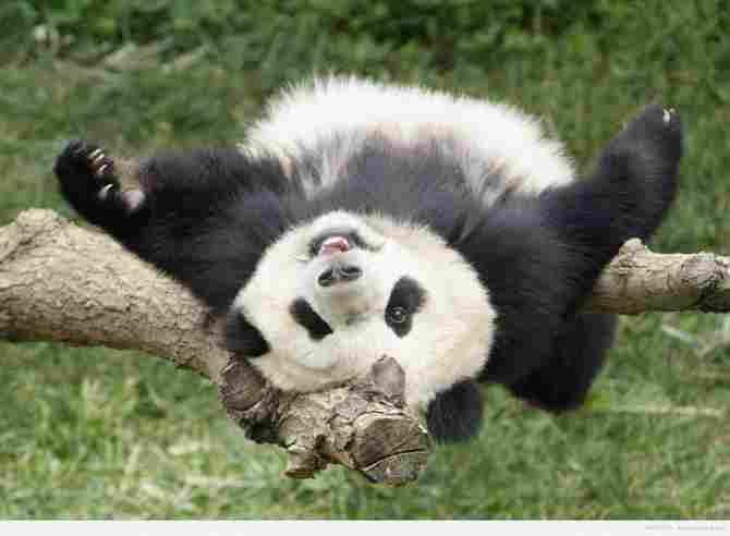 Se le llama 'hacer el oso'... panda