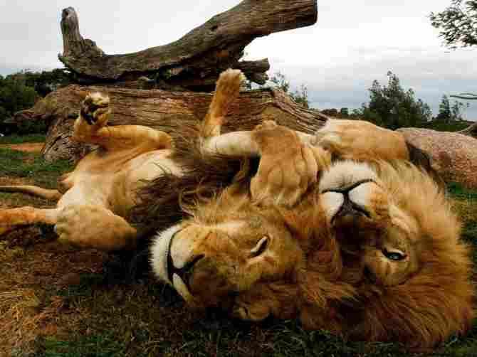 Tất nhiên, những con sư tử này không nhận thấy bất kỳ nguy hiểm