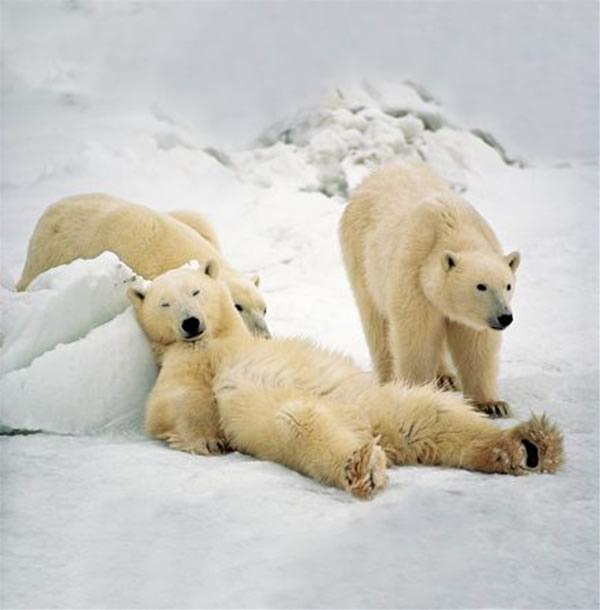Un ours très calme
