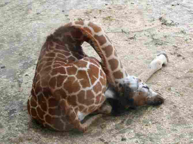 Una jirada durmiendo, pero muy profundamente