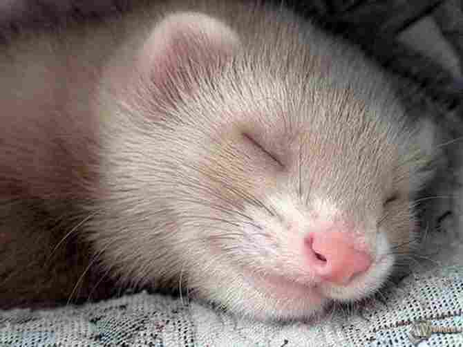 What is our ferret dreaming about with that smile?