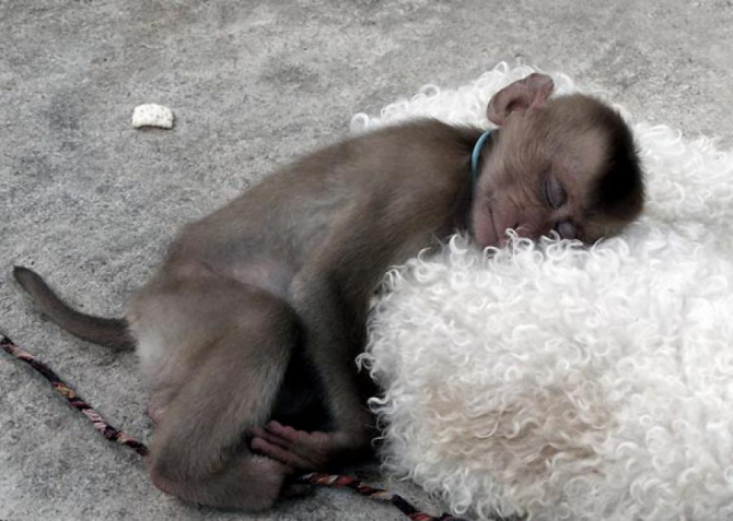 What monkey would resist that soft pillow!