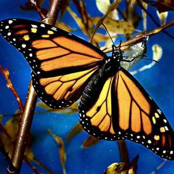 As borboletas diurnas evoluíram das noturnas, surgiram cerca de 40 milhões de anos atrás.