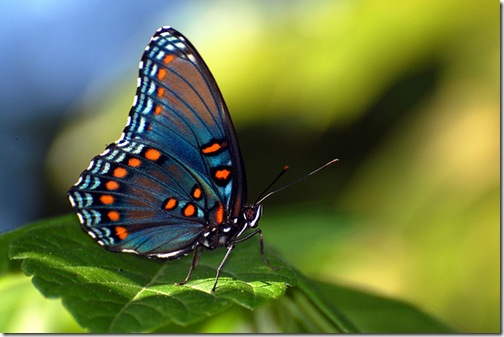 As borboletas podem saborear a comida com os pés.