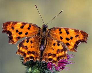 """As borboletas são muito românticas. Eles expulsam o chamado """"pó do amor"""" para conquistar e atrair seu parceiro."""