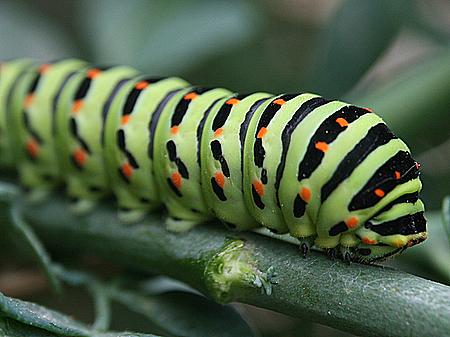 As lagartas mudam de pele várias vezes durante a vida e precisam de uma grande quantidade de comida e oxigênio.