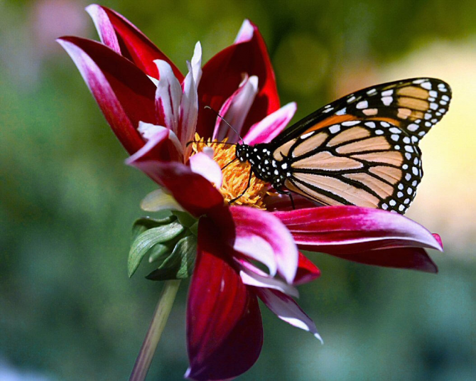 Butterflies consume nectar and fermented fruits to get energy and fly.