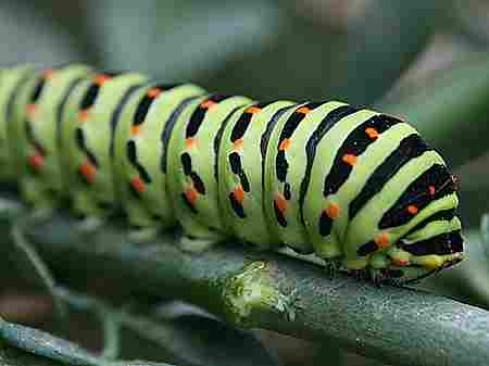 Caterpillars shed skin several times during their life so they need a lot of food and oxygen.