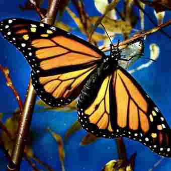 Day butterflies evolved from nocturnal, they appeared about 40 million years ago.