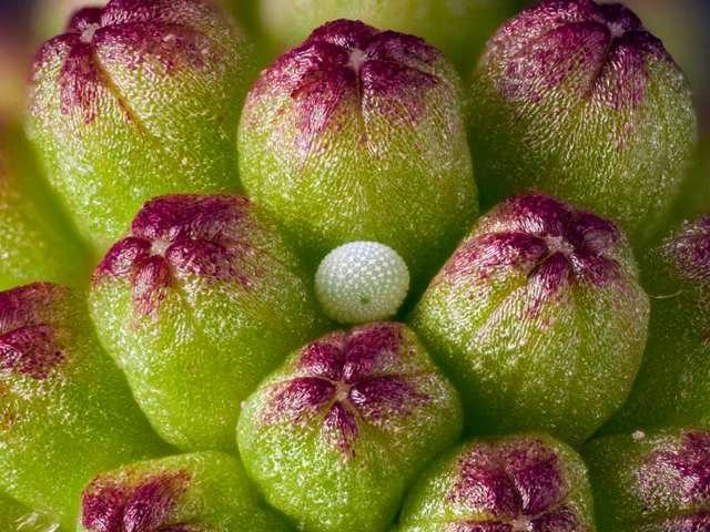 Escolher a planta para pôr ovos é muito importante, pois será a planta nutritiva para as lagartas.