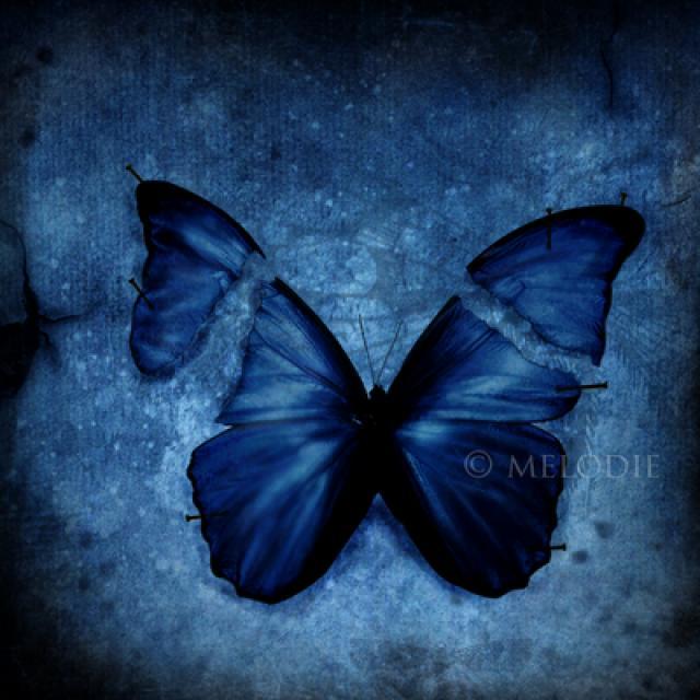 Mesmo um toque suave pode danificar as asas de uma borboleta.
