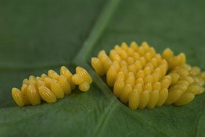 O número de ovos de cada postura varia de acordo com a espécie. Eles podem chegar a 500, embora muito poucos consigam alcançar os adultos.