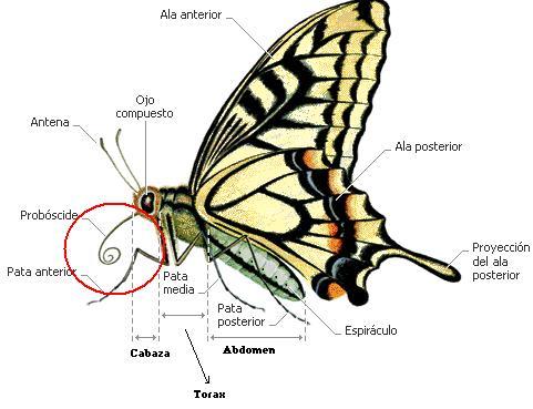 Para alcançar o néctar, as borboletas desenrolam a boca ou a tromba, formando um canudo para beber.
