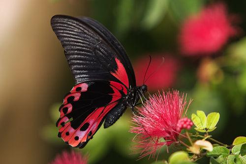 Poças nas margens do rio podem atrair grupos de borboletas. O papai borboleta e seus amigos se reúnem nessas poças para tomar nutrientes e sais que os ajudam a se reproduzir.