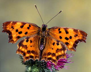 """The butterflies are very romantic. They expel the so-called """"Dust of Love"""" to conquer and attract their partner."""