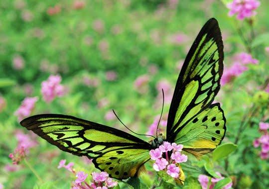 The flight of diurnal butterflies has an average speed of 12 km / hour, although certain species reach higher figures.