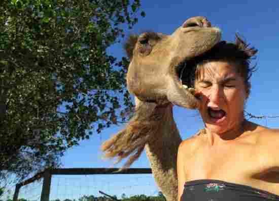 Camello canival