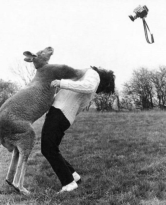 Canguru de boxe