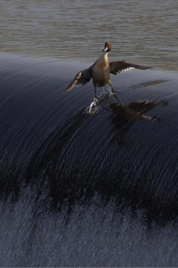 Surfejant vaig, fent surf vinc